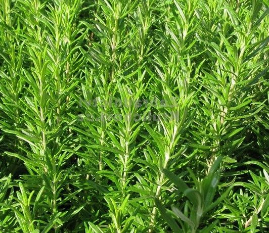 фото многолетнее растение Розмарин Abraxas