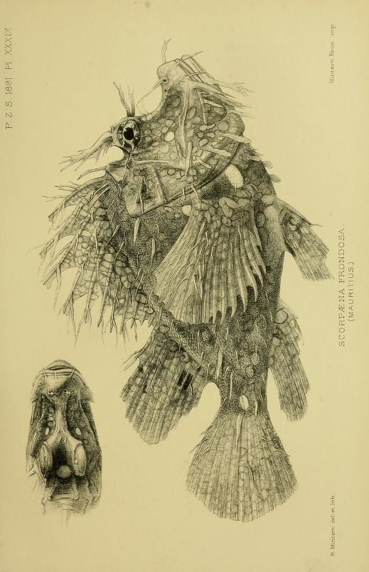 Lionfish, Proceedings of the Zoological Society of London, 1891.
