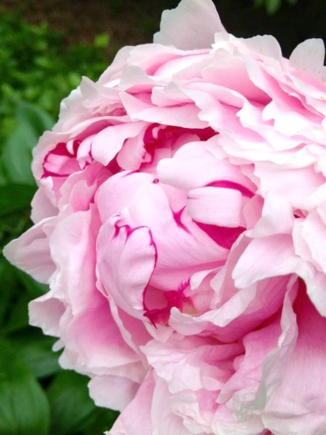 pink peonies - choosing the right perennials for your garden
