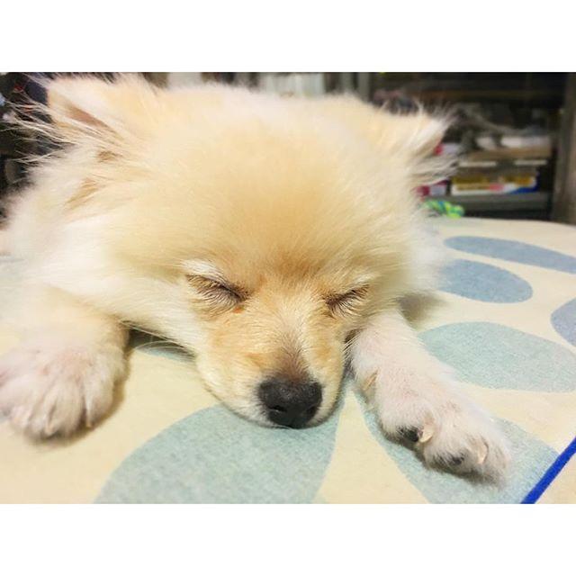 _ 1日何時間寝てるんだろ😳😳😳💤 _ #嵐丸 #らんまる #ぽめらにあん #ポメラニアン #ポメラニアンが世界一可愛い #ポメラニアン部 #愛犬 #わんこ #癒しわんこ #いぬバカ部 #pomeranian #dog #dogstagram #pomstagram #dogsofinstagram