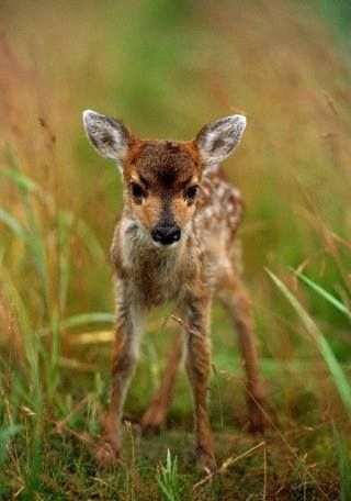 Young Sitka Blacktail fawn