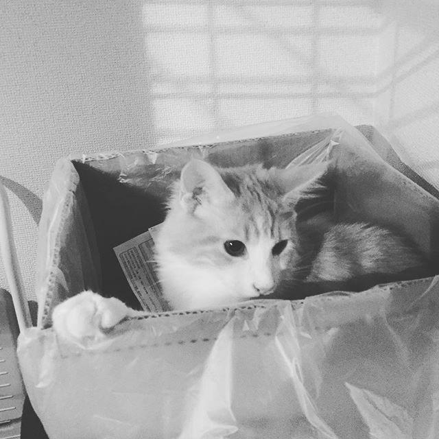 #資源ごみ が#大好き な#愛猫 のノアくん。#メインクーン で#生後8ヵ月 ♡やっぱりメインクーンは#おっきい !!!
