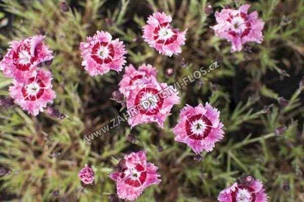Dianthus plumarius 'Dixie Rose Picotee'
