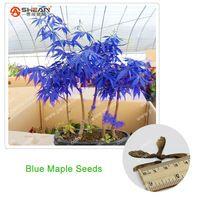 Rare blu maple semi di acero bonsai piante in vaso da giardino giapponese semi di acero 10 pezzi/lottp
