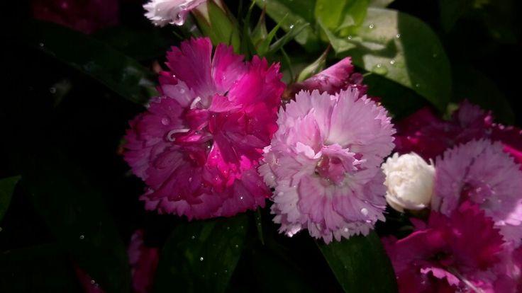 Pompones fucsia y rosa