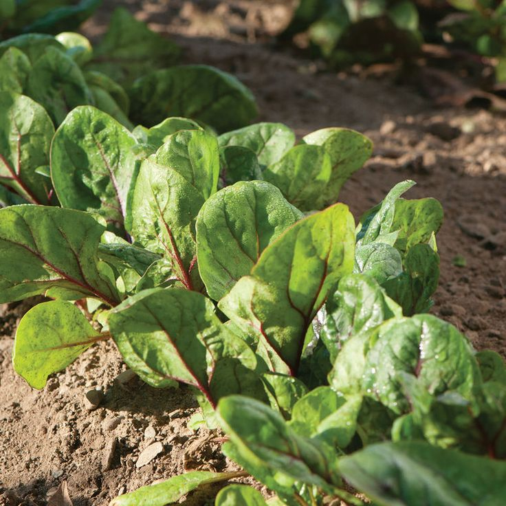 how to grow spinach without seeds