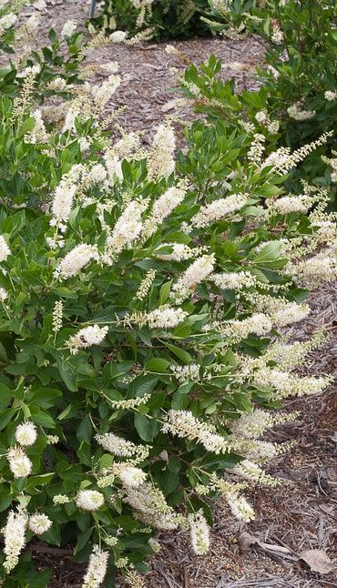 Vanilla Spice Clethra is a summer bloomer with extra large white flowers which are fragrant. This flowering shrub also attracts butterflies, but not deer, which is also good news!