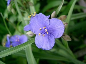 Ohio Spiderwort (tradescantia ohiensis): Tradescantia ohiensis, commonly known as bluejacket or Ohio spiderwort, is an herbaceous plant species in the genus Tradescantia native to eastern + central North America. It is the most common and widely distributed species of Tradescantia in the United States, where it can be found from Maine in the northeast, west to Minnesota, and south to Texas and Florida. It also has a very small distribution in Canada in extreme southern Ontario near Windsor…
