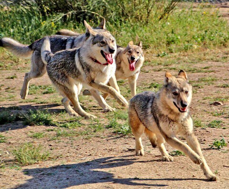 criadero perro lobo checoslovaco y criadero alaskan malamute.Venta de cachorros alaskan malamute y cachorros perro lobo checoslovaco bajo reserva,próximas camadas Seguimiento semanal y socialización primaria.629 52 18 81/info@thewolfhouse.es .