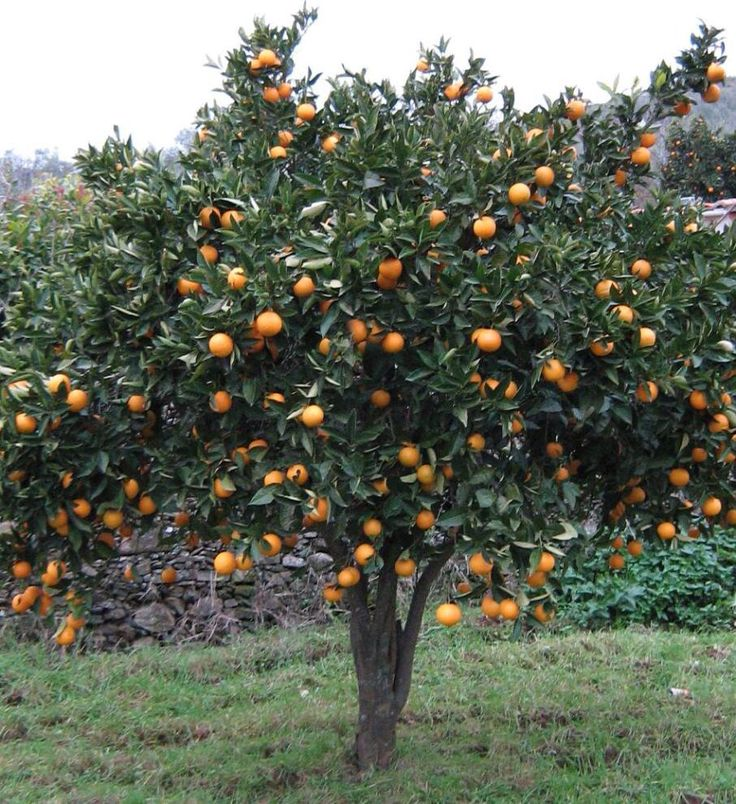 Naranjo rbol de naranjas frutales pinterest - Plantar arboles frutales ...