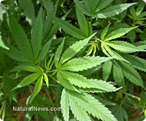 Dr. Sanjay Gupta apologizes, admits cannabis is a healing plant that should be legalized