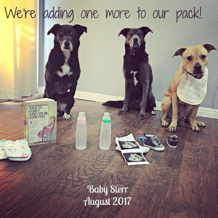 #dog #pregnancy #announcement #ourpack
