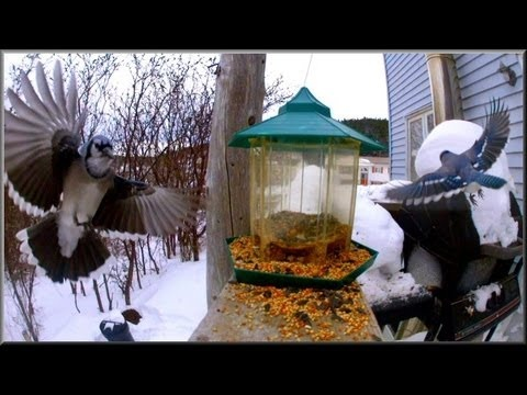 """""""Newfoundland Blue Jay""""... Spend a few minutes with these territorial birds..."""