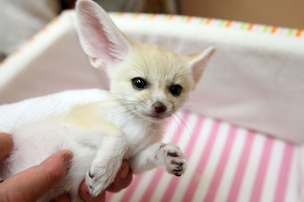 Fennec Foxes | 10 Unconventional Pets You Can Actually Own The fennec foxes are SO adorable! I want one!!!