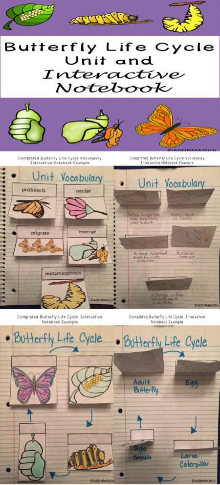 This butterfly life cycle unit includes real life pictures of all life cycle stages and activities. Includes unit vocabulary and life cycle interactive notebook pages, KWL, completed examples, parts of a butterfly, life cycle diagram, reading comprehension, butterfly vs. moth comparison and Venn Diagram, sequencing pictures of a butterfly's life, timeline, coloring page, and assessment.