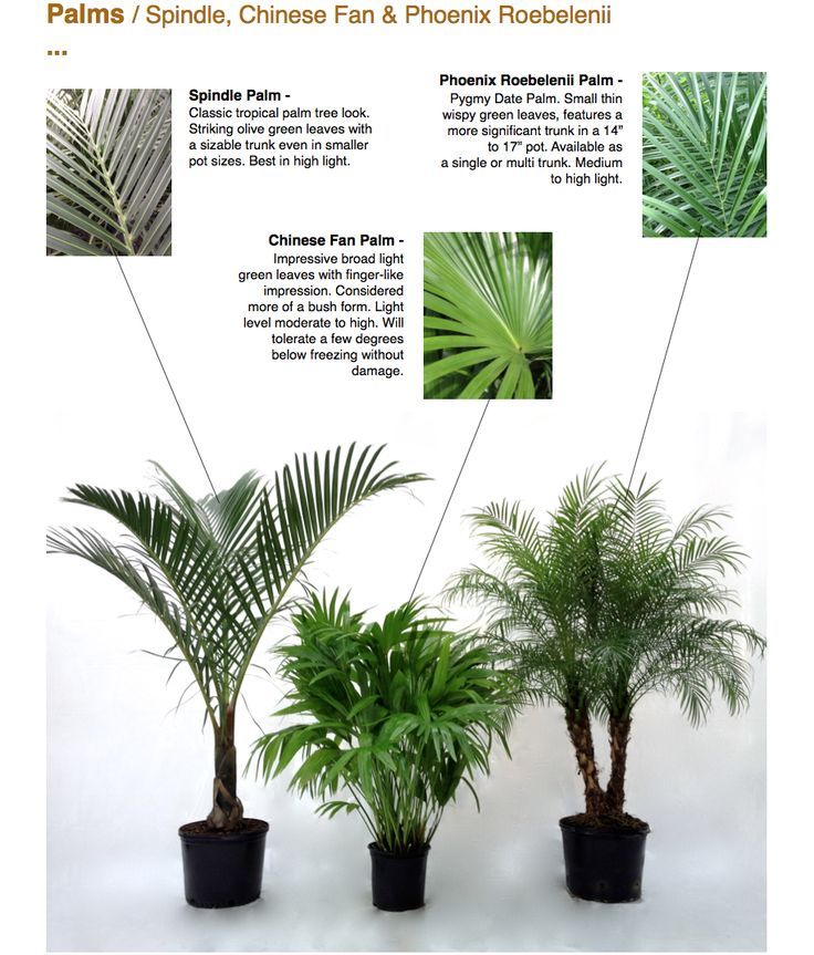 Palms / Spindle, Chinese Fan & Phoenix Roebelenii ... Spindle Palm - Classic tropical palm tree look. Striking olive green leaves with a sizable trunk even in smaller pot sizes. Best in high light. Chinese Fan Palm - Impressive broad light green leaves with finger-like impression. Considered more of a bush form. Light level moderate to high. Will tolerate a few degrees below freezing without damage. Phoenix Roebelenii Palm - Pygmy Date Palm. Small thin wispy green leaves, features a mor...