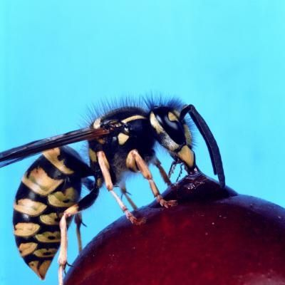 Natural Bee & Wasp Repellent - The same oils keep horse flies away, too!