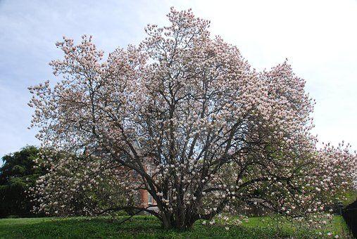 Strom, Květ, Jaro, Třešeň, Růžový