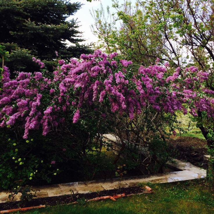 Leylak Zamanı/Lilac Time #lilac #leylak #doğa #nature #flover #çiçek #ağaç #tree #greens #yeşillik