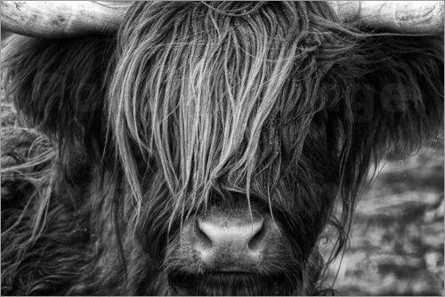 Martina Cross - Schottisches Hochland Rind - Highland Cattle