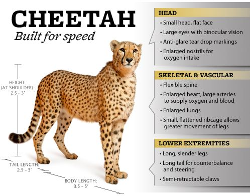 Do you know how fast a cheetah can run? Information on this ...