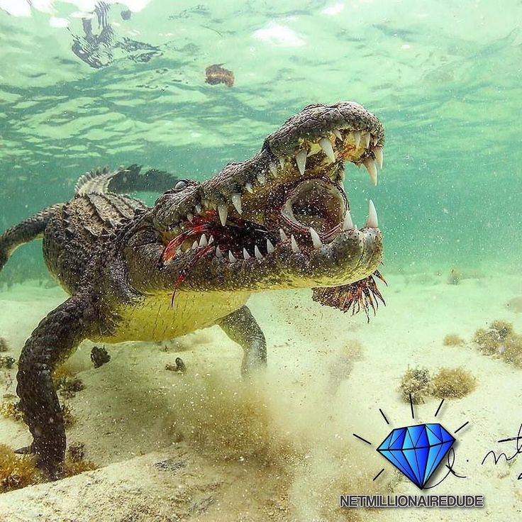 Crocodile eating a Lionfish Photo by @sdmdiving  Follow @netmillionairedude for more#entrepreneur #business #entrepreneurs #entrepreneurship #money #motivation #success #lifestyle #luxury #marketing #fashion #love #wun #networking #networkmarketing #cash #dreambig #freedom #millionaire #residualincome #vegas #vemma #wakeupnow #lsn #mlm #nyc #offer #vegasvip #wakeupnow #workfromhome