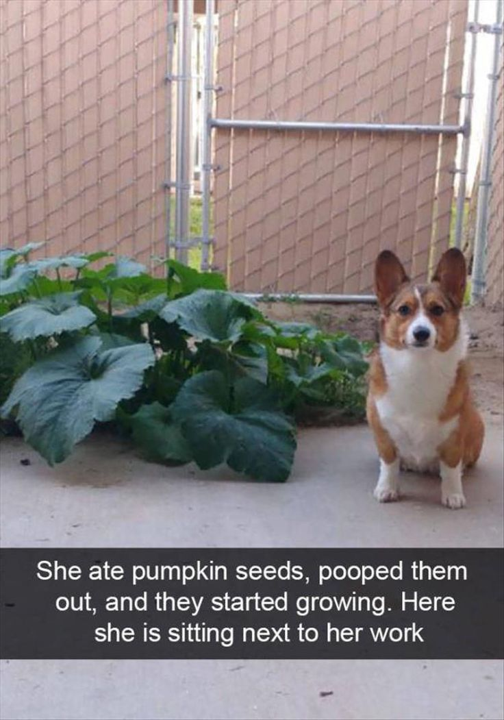 Corgi ate pumpkin seeds and pooped them out.
