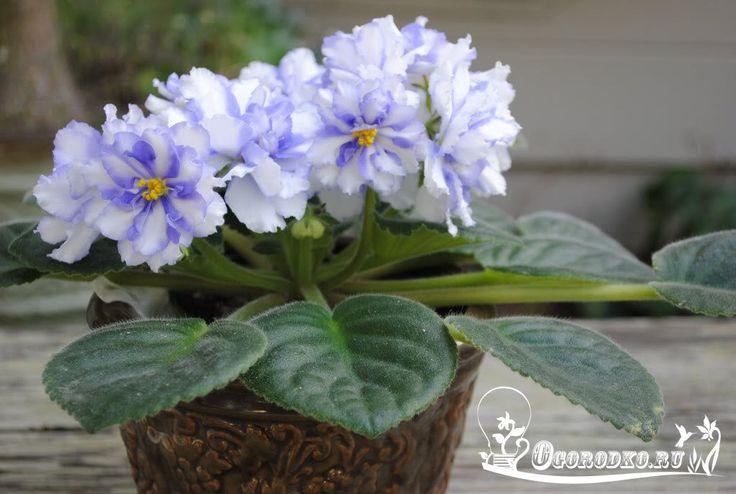 Комнатные растения – лекари.    Общее самочувствие улучшают любые комнатные растения, но активнее всего - аукуба, фатсия, монстера, филодендрон, сциндапсус, сингониум, циссус, роициссус, драцена, акалифа, бонсай, гиппеаструм, кактусы, кротон (кодиеум), пуансеттия, рео пестрое.    Тем, у кого целый «букет» заболеваний, стоит завести агаву и алоэ. При хронических, застарелых заболеваниях хороши каланхоэ, плющ со светлыми листьями, сциндапсус, тетрастигма, фатсия.    Быстрому выздоровлению…