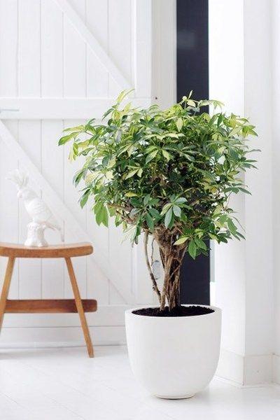 Wie af en toe het stof van de Schleffera haalt, krijgt daar een glimmende, flexibele kamerplant voor in de plaats. De Schleffera voelt zich ...