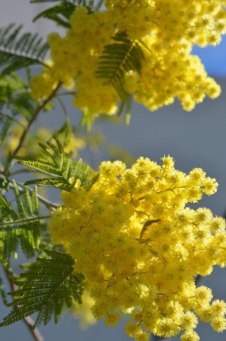 by lejardindeclaire,ma nouvelle maison,jardin,mimosa,fleurs