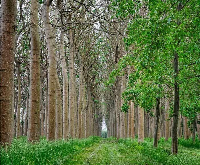 La Paulonia (Paulownia) è una pianta apparsa in Europa agli inizi del 1800, importata dalla società olandese dal orientale dell'India. Ha acquisito il suo