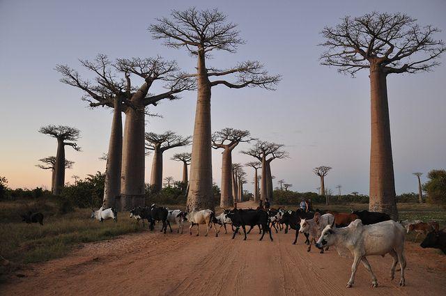 神秘の巨木が立ち並ぶ,マダガスカルのバオバブの並木道   Sworld