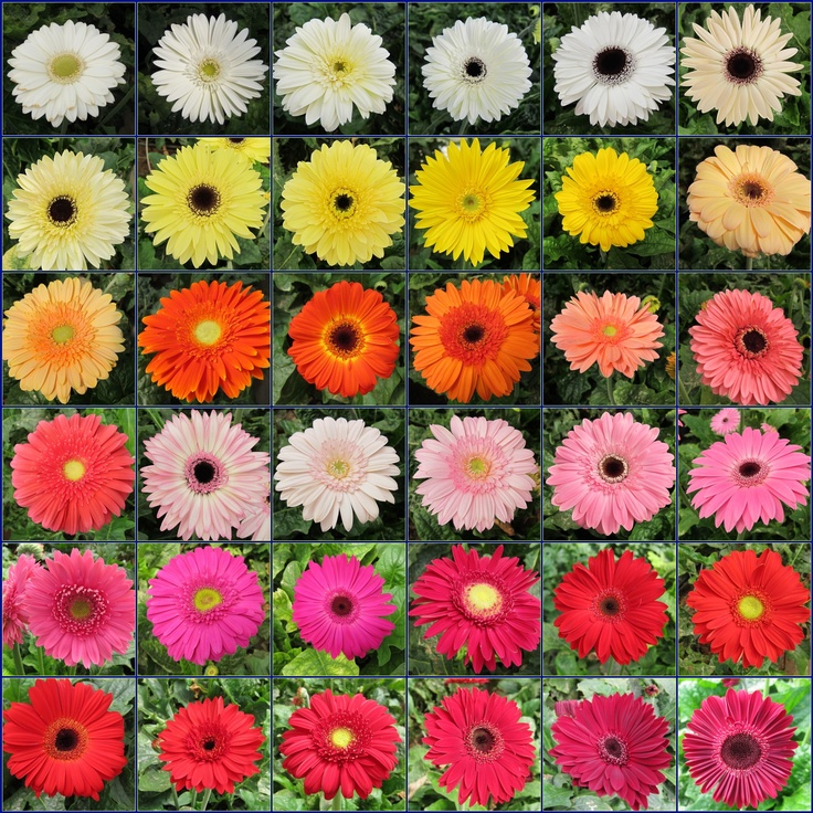 A gerbera daisy chart sampling beautiful flowers Where did daisies originate