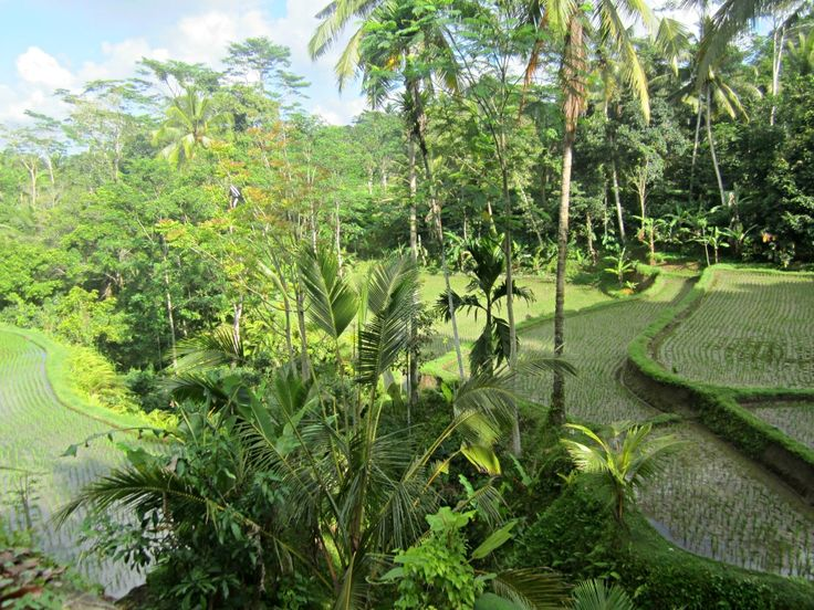 riziere-foret-tampaksiring-escapade-bali-blog-voyage-trace-ta-route www.trace-ta-route.com http://www.trace-ta-route.com/escapade-bali/ #tracetaroute #ricefields #bali #indonesie #Tampaksiring #rizieres #indonesia