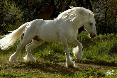 White fell pony, vision of a little girl's dreams.