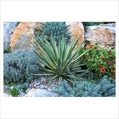 Yucca gloriosa 'Variegata' in dry garden with Euphorbia myrsinites, Lavandula and Gaillardia