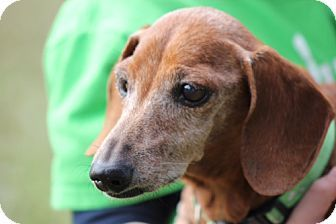 ★12/3/14 STILL LISTED!!★Weston, FL - Dachshund. Meet Elijah, a dog for adoption. http://www.adoptapet.com/pet/10028341-weston-florida-dachshund