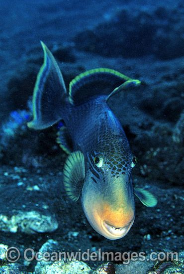 Yellow-margin Triggerfish aerating egg cluster