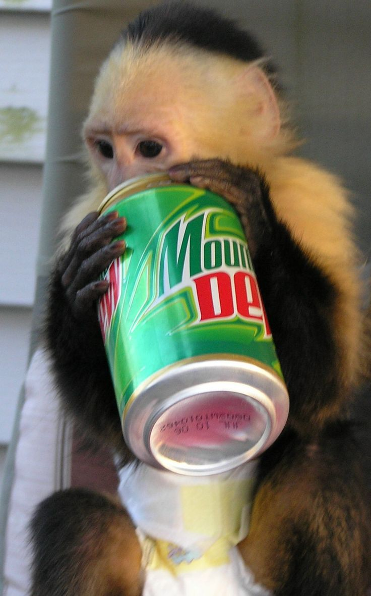 MO Exotic Animals For Sale Capuchin Breeders Marmoset Monkeys