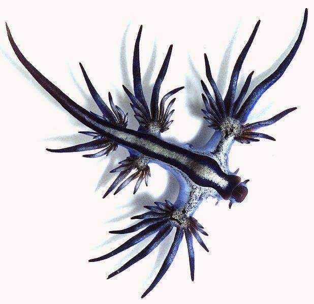 Glaucus atlanticus | Strange Animals