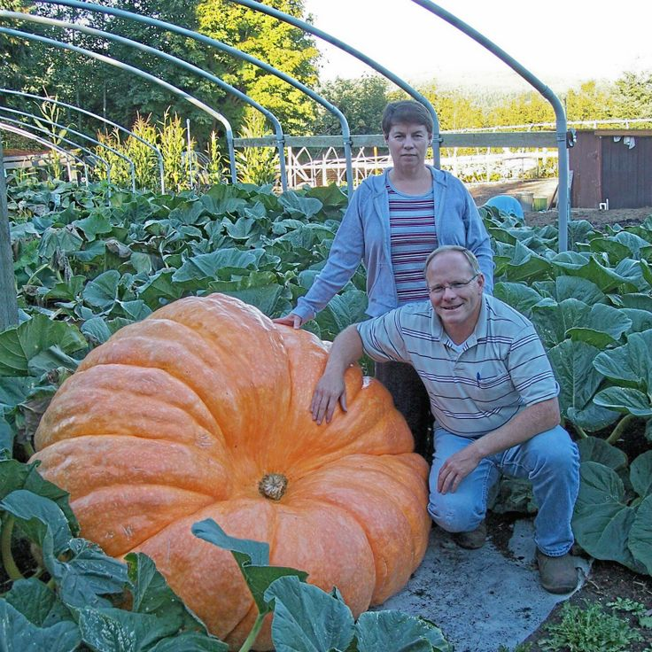 10 Giant Pumpkin Seeds Super Dills Atlantic Giant Competition Pumpkin Seeds Orna-Mental Gourd Vegetable Seed