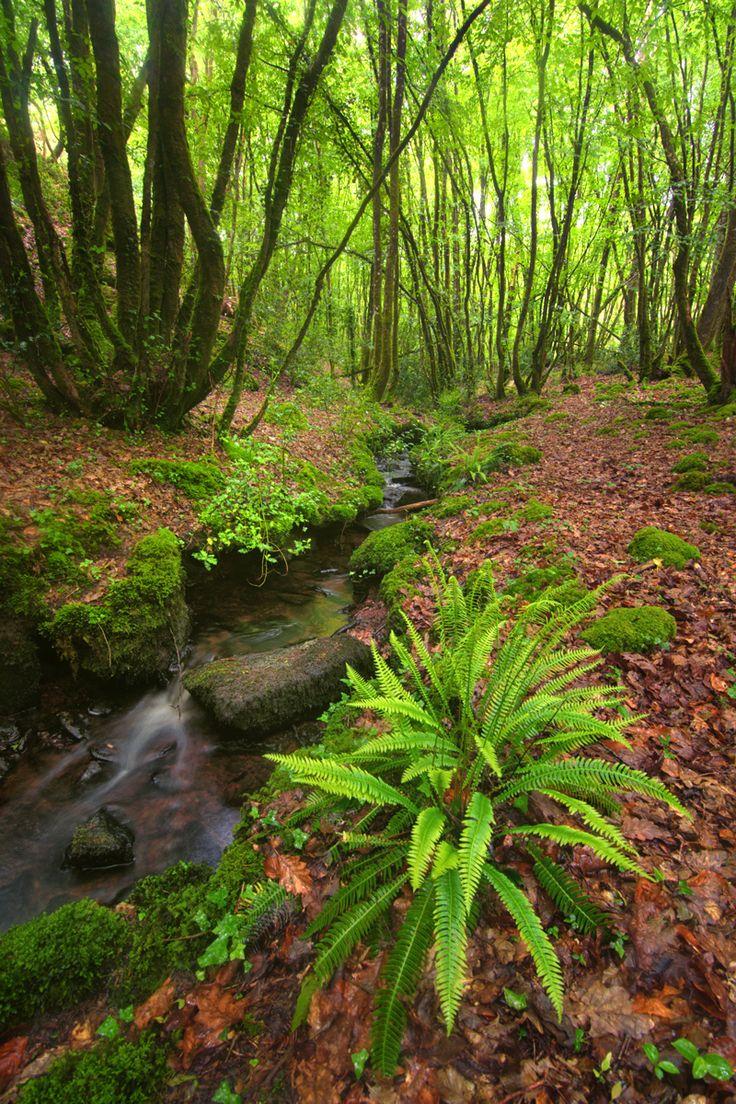 Rayons de soleil se frayant difficilement un passage entre les arbres de la forêt de Brocéliande. Bretagne, France.