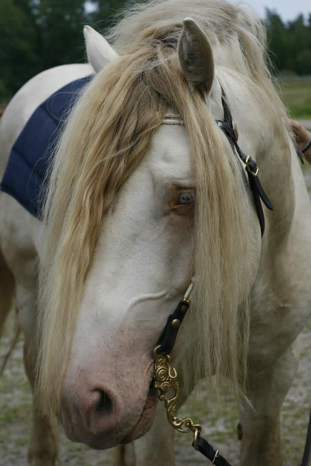 My north swedish draft stallion
