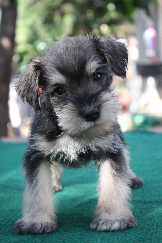 Salt and Pepper Miniature Schnauzer Puppy