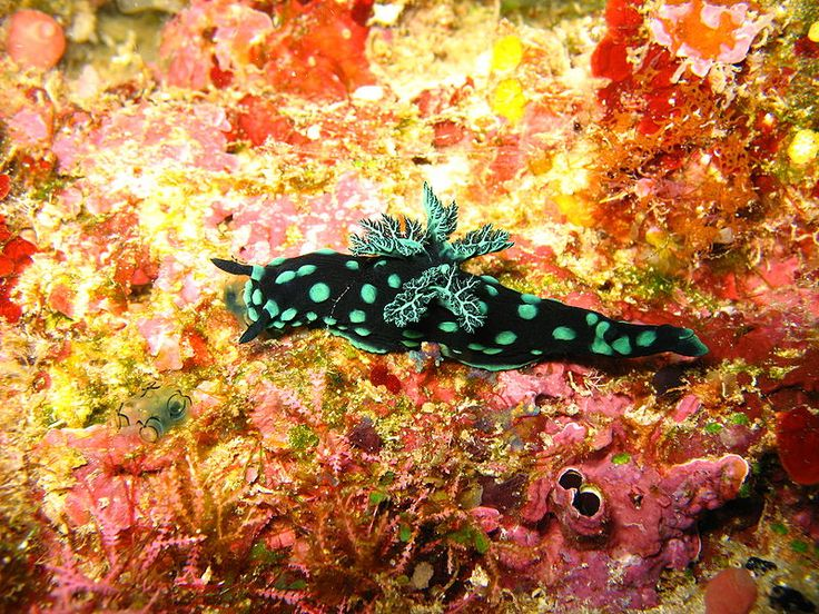 Another Nudibranch