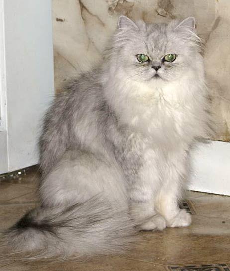 Персидский кот доставал из банки печенье и кормил им своего друга — собаку