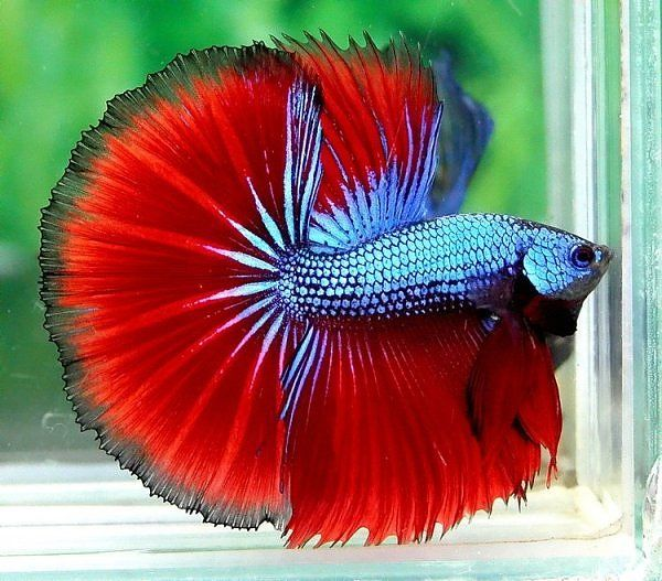 329 best betta splendens images on pinterest betta for How much are betta fish at petco