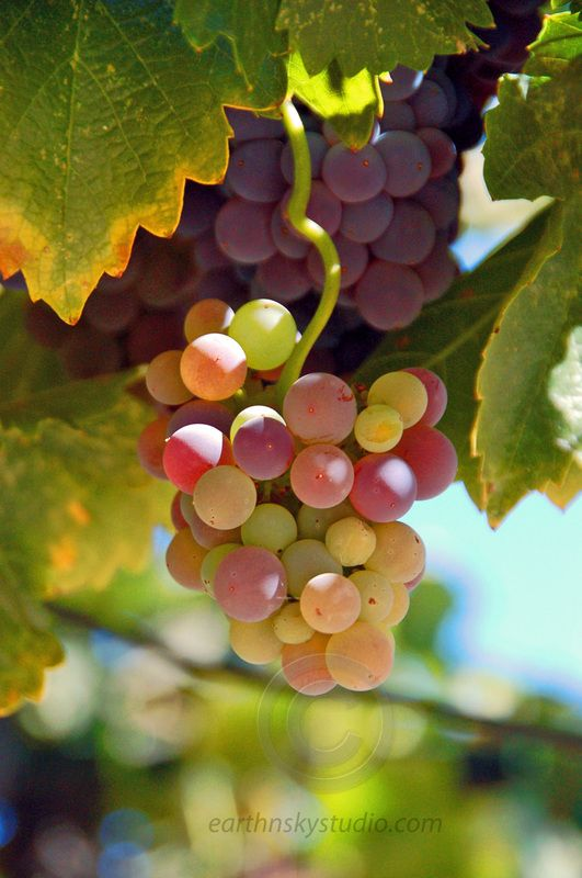 17 mejores ideas sobre vides de uva en pinterest vi edo for Jardin secreto wine