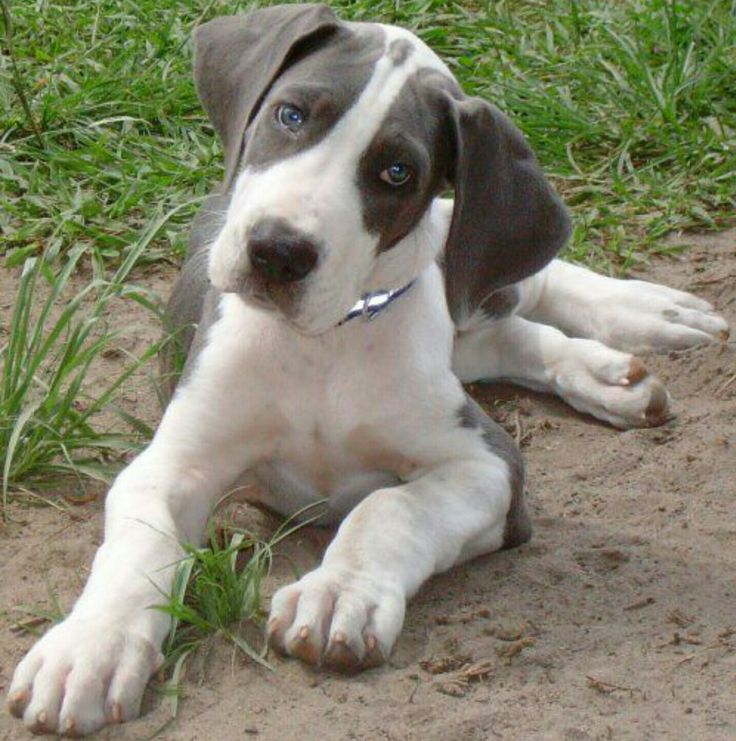 1000 Images About Great Dane Dogs On Pinterest Great