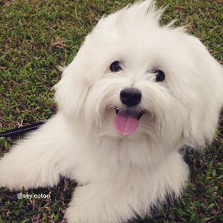 Coton de Tulear Dog Breed Information - American Kennel Club